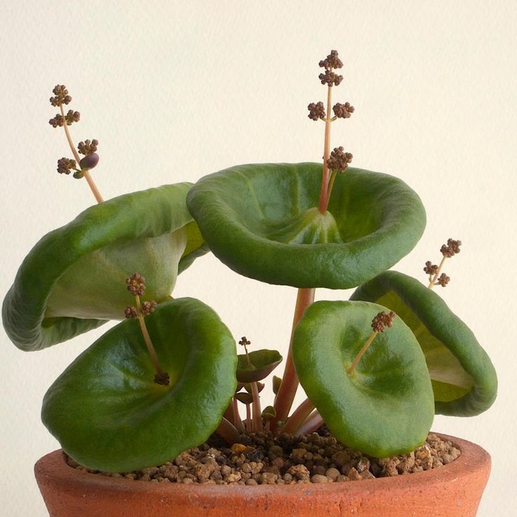 An unusual looking plant::Crassula umbrella.                                                                                                                                                                                 Más