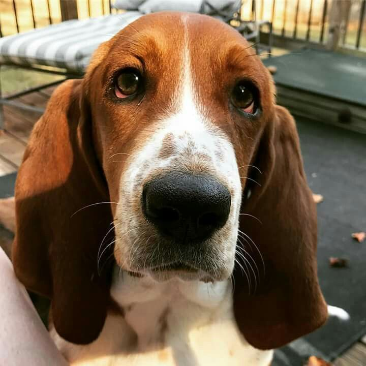 17 Best Images About Basset Hounds On Pinterest