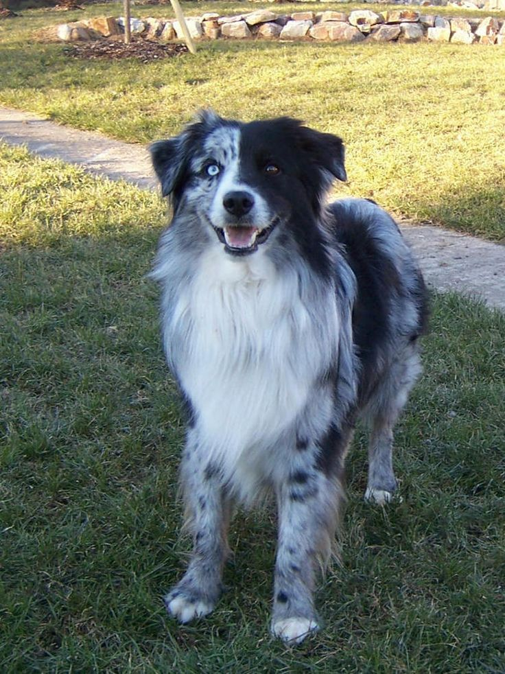 Australian Shepherd Blue Merle No Copper with Spilt Face!
