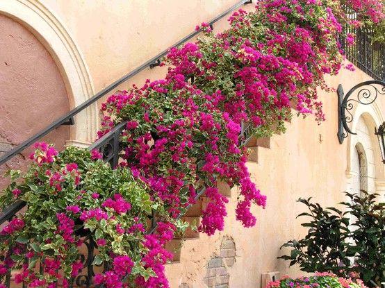 Primaveras (Bougainvillea) sobem a escada.