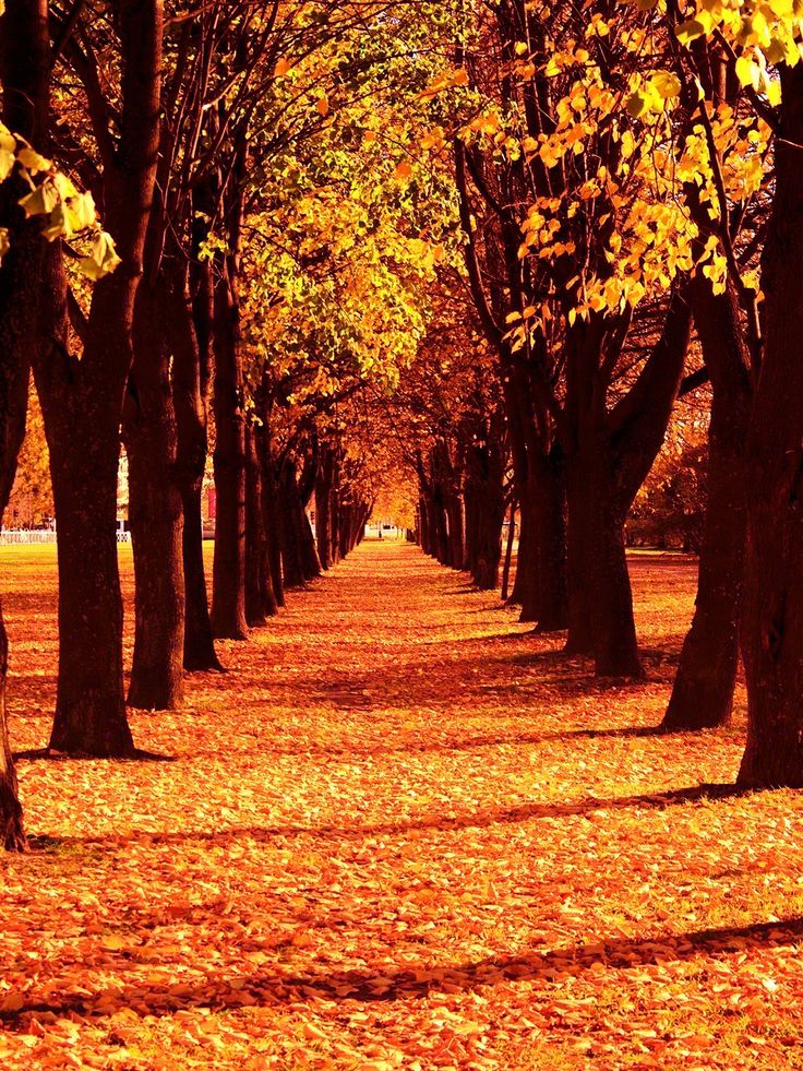 Pathway of Autumn leaves. -walk of autumn / 9211