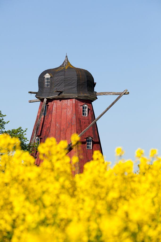 Old mill and rape in Österlen, Skåne, Sweden