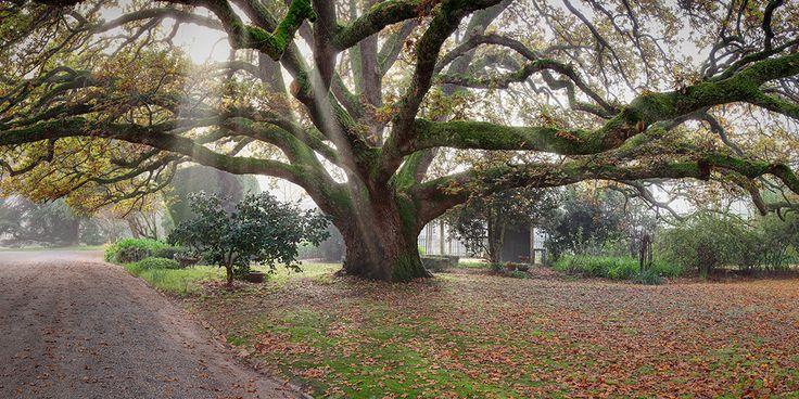 The grand oak tree