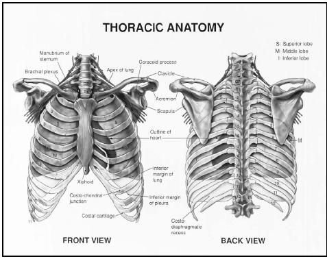 Anterior and posterior view of thoracic anatomy. MVI ...