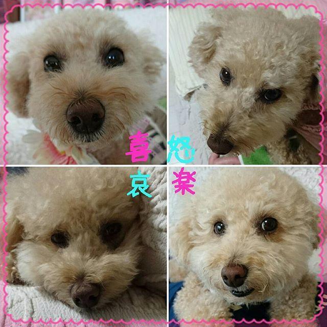 こんばんは😃🌃 女の子のように可愛いらしいミッキーちゃんのママ  @marikof526 と ちょっぴりぽっちゃりの愛らしいモカちゃんのママ  @mocachanchan から #喜怒哀楽バトン が回ってきました😆 ※ 少し難しかったけど、楽しかった❤ ※ 二人ともありがとう😆💕✨ ※ タグ付けしたけど、大変なのでスルー🙆🆗✨です😌💓 ※ #トイプードル#トイプー#といぷーどる#といぷー#愛犬#愛犬🐶#いぬ#いぬのきもち#いぬのきもち#ワンちゃん#ワンコ#トイプードル大好き#トイプードル部#トイプードル愛犬#犬のいる暮らし#犬との生活#犬好きな人と繋がりたい#いぬスタグラム#犬なしでは生きていけません会#トイプードル写真#ゆずぽん#ゆず#toypoodle#toypoodlelove#dog#doglove#smile#cruit#inulog #バトン