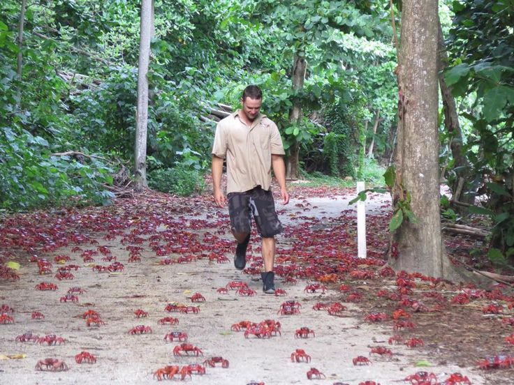 "Even walking around Christmas Island can be a challenge during the annual crab migration. The local radio station broadcasts special ""crab bulletins"" to alert islanders to the crabs' latest movements and roads with the highest  numbers that may be closed as a result."