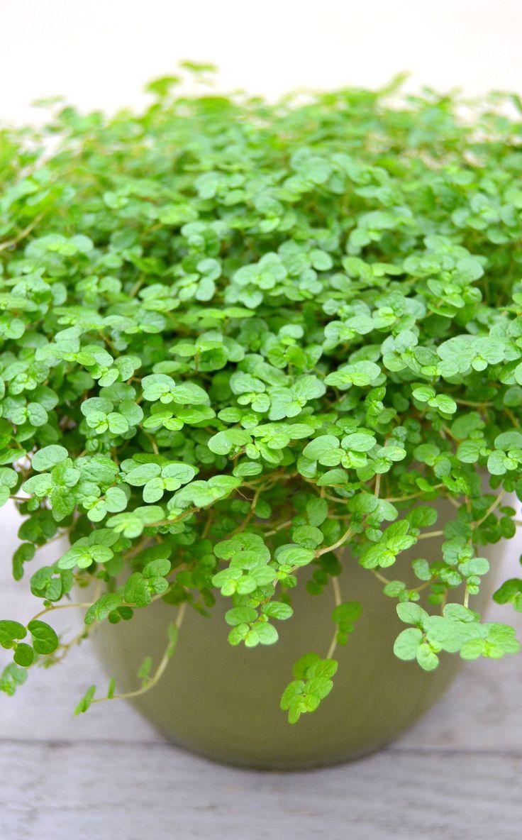 Soleirolia soleirolii / slaapkamergeluk. Plant kan goed tegen een koele en relatief donkere kamer.