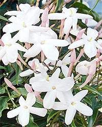 Sokvirágú jázmin (Jasminum polyanthum)