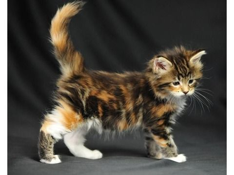 xzdaxgdzxgd Pedigree Maine Coon Kittens For Sale
