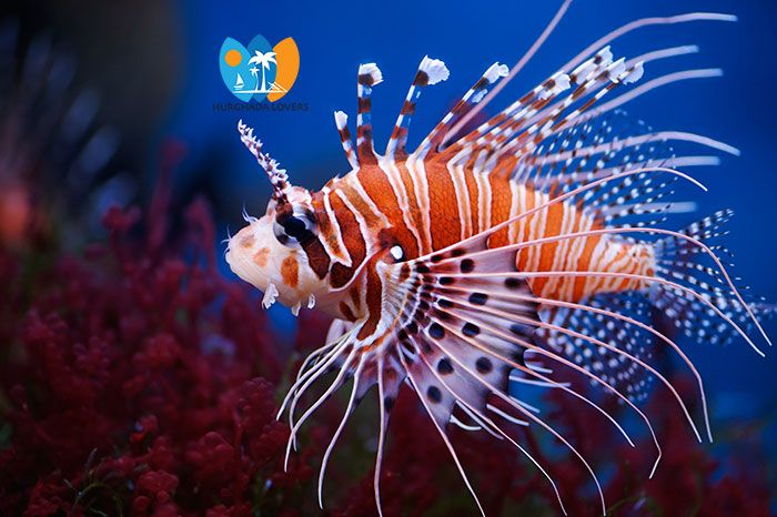 Things To Do In Hurghada Egypt Top 10 Hurghada Excursions Lion Fish Ocean Creatures Sea Animals