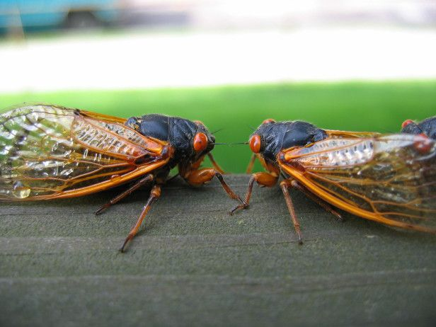 The cicadas are coming! Have you spotted them yet? --> http://www.hgtvgardens.com/animals-and-wildlife/swarmageddon-return-of-the-cicadas?soc=pinterest