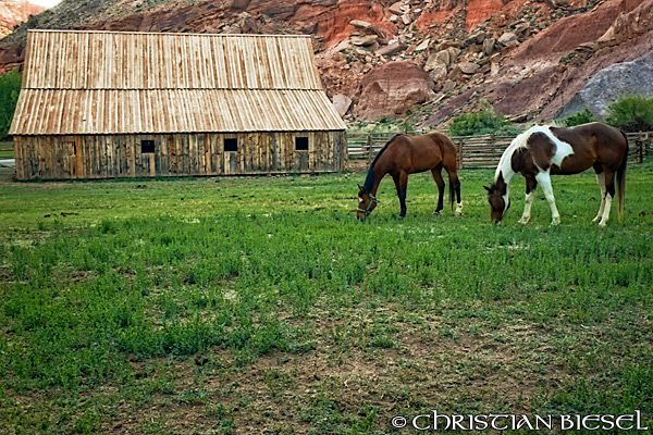 Capitol Reef National Park , Gifford Ranch and Horses