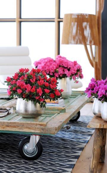 Azaleen fürs Zimmer: Pflegetipps und Dekoideen -  Azaleen sind für ihre Blütenpracht im Garten berühmt. Im Winter bereichern sie auch unsere Innenräume mit ihren leuchtenden Farben. Hier gibt es die besten Pflegetipps, um lange Freude an den asiatischen Schönheiten zu haben.