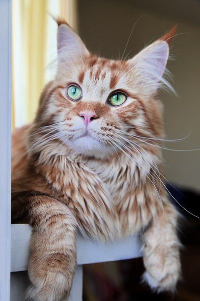 cat ♥ http://www.mainecoonguide.com/where-to-find-maine-coon-kittens-for-sale/