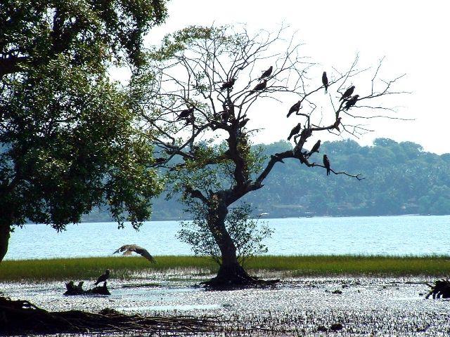 A pic of  salim ali bird sanctuary goa ( Goa -> Northen Goa -> salim ali bird sanctuary goa)  www.indiaataglance.com/state/goa/