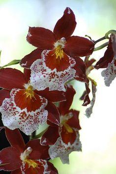 Fiche de culture des orchidées Odontoglossum (Cambria)
