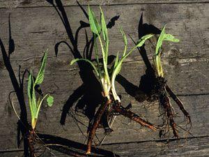 """Beinwell-Blätter fühlen sich rau und kratzig an, fast wie ein Drei-Tage-Bart. Früher wurde dieses Kraut auch Bein- oder Wallwurz genannt. Letzteres bezieht sich auf das ursprüngliche Einsatzgebiet der Pflanze: Es wurde bei Knochenbrüchen und Wunden eingesetzt, damit diese schneller heilen, oder auch """"wallen"""", konnten. Zu finden ist Beinwell an Ufern, Wegrändern, auf feuchten Wiesen und in Auenwäldern. Neben Allantoin, dem neben einer zellerneuernden auch eine hautberuhigende Wirkung…"""