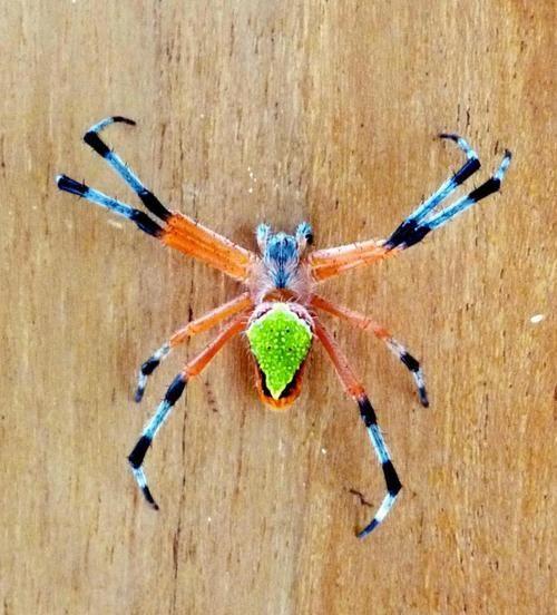 Eriophora nephiloides Spider