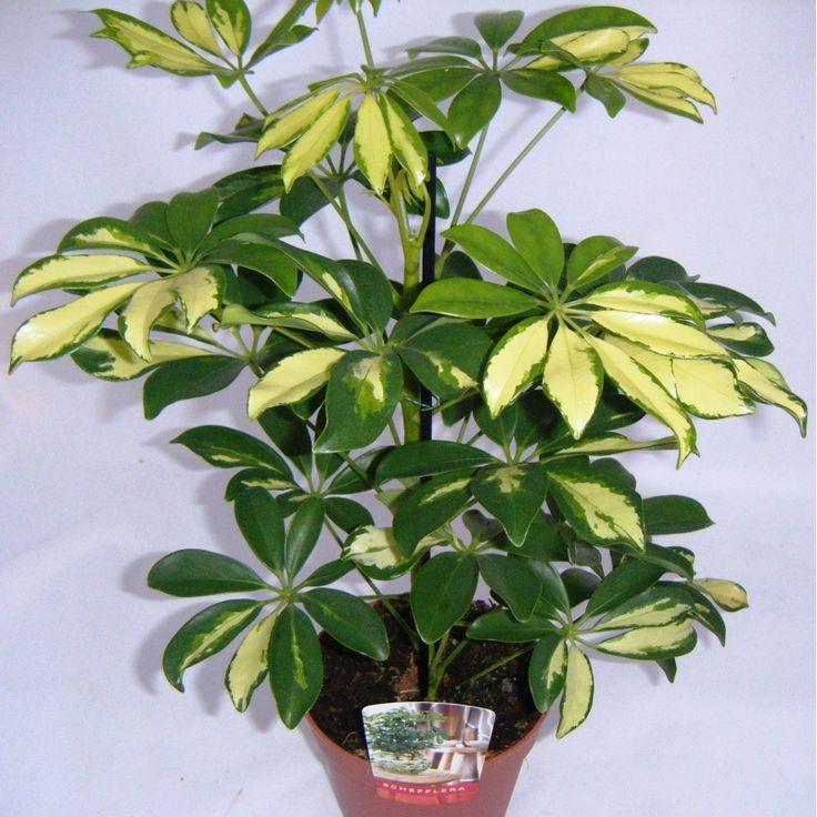 Schefflera plant schefflera arboricola variegated - Schefflera variegata ...