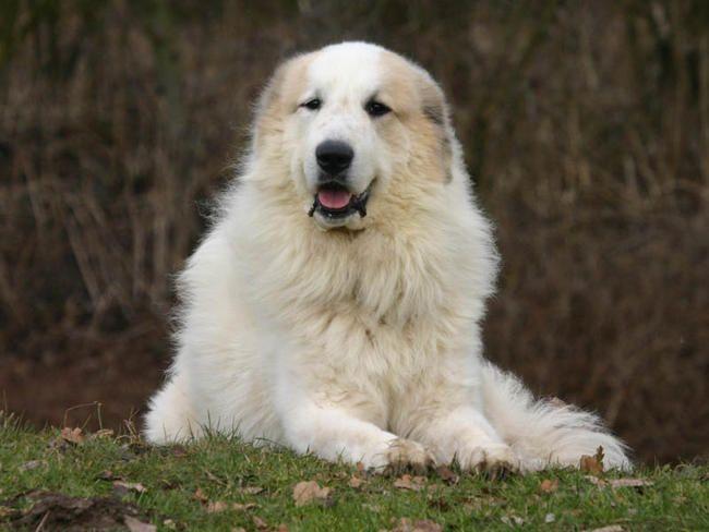 Top 10 des races de chiens les plus grands - Insolite - Wamiz