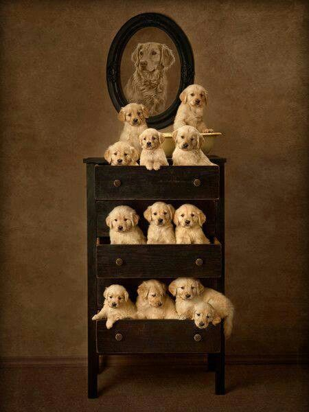 Cute: Adorable Puppys, Pet, Labs Puppys, Golden Retrievers Puppys, Dressers, Sickness Dogs, Families, Chest Of Drawers, Animal