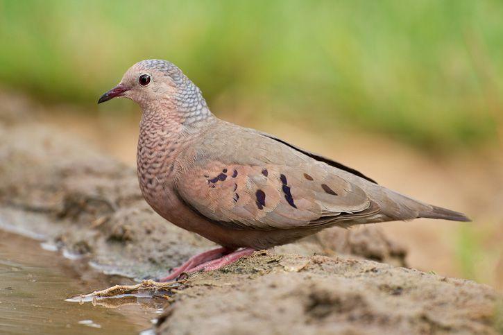 Columbina passerina - Common Ground-Dove -Sighted: 12/2011 Palmas del Mar, Puerto Rico