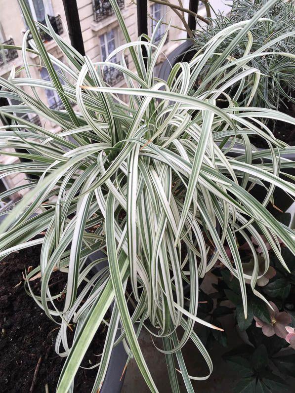 Liriope spicata 'Silver Dragon' http://www.pariscotejardin.fr/2016/02/liriope-spicata-silver-dragon/