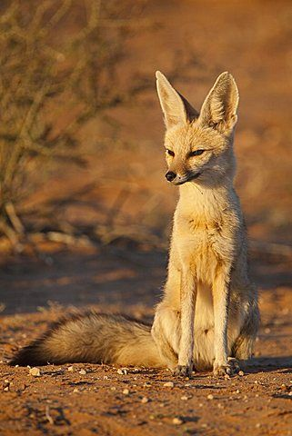 Cape fox (Vulpes chama), Kgalagadi Transfrontier Park, Northern Cape, South Africa, Africa