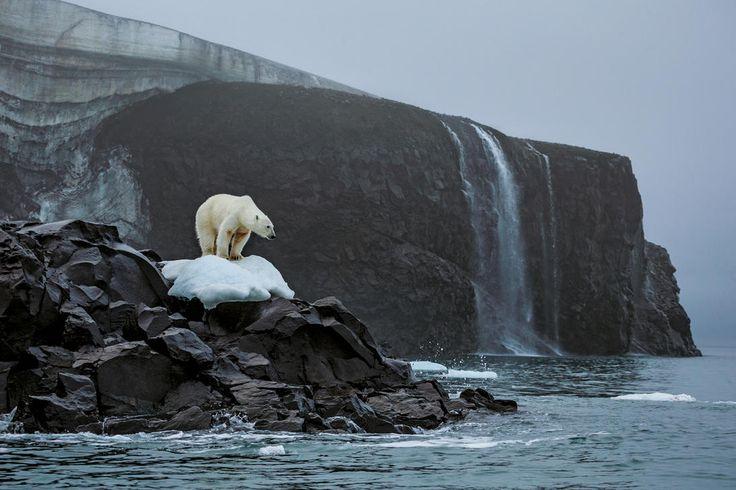 Ours polaire aperçu sur l'île Rodolphe, dans l'archipel François-Joseph, lors d'une expédition en Alaska - National Geographic France
