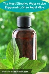 Follow these 5 Tips to use Peppermint Oil to Get Rid of Mice