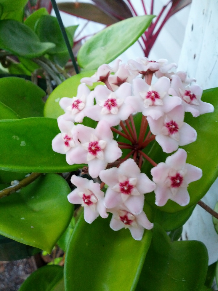 1000+ images about Flowers - Hoya on Pinterest   Declaration of, Palawan and Christmas island