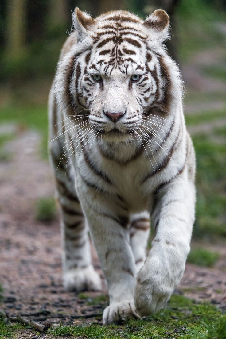 A female white tiger looking at me and approaching... I think it's the mother of the cubs.