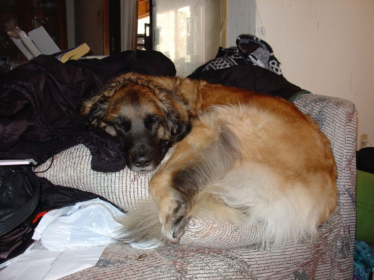Scala the Leonberger liking her comfort somehow managed to fit all a hundred and three pounds of herself onto one cushion.
