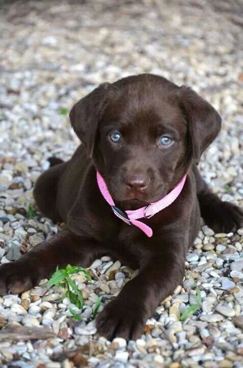 Chocolate Labrador pup ♡