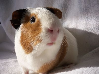The Guinea Pig Daily: Mosca