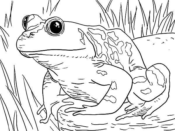 Bullfrog Coloring Page Design