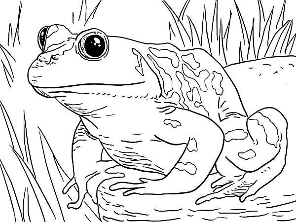 Bullfrog Coloring Pages Frog Coloring Pages Zoo Animal Coloring