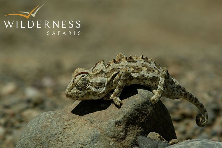 Damaraland Camp - Namaqua chameleon is endemic to Namibia and is a special find. #Safari #Africa #Namibia #WildernessSafaris