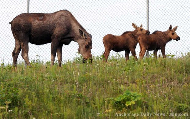 A cow moose and her calves feed along the fence line on the west side of Ted Stevens Anchorage International Airport