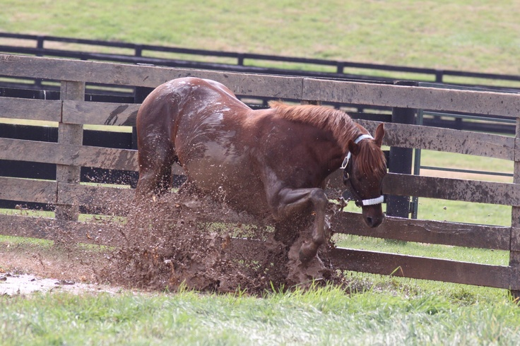 """No matter how finely bred they are, they are still just horses.  This is Smarty Jones having a """"waller"""" in the mud."""