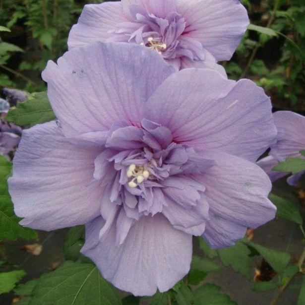 17 meilleures id es propos de hibiscus sur pinterest hawa tropical et paradis. Black Bedroom Furniture Sets. Home Design Ideas