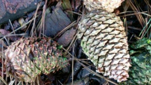 Kogler fra Pinus jeffreii