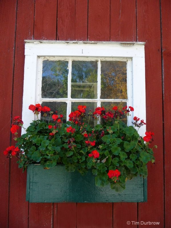 Red Flower Window Box Add Sweet Potato Vine Purple