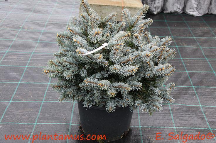 """Picea pungens """"Glauca Globosa"""""""