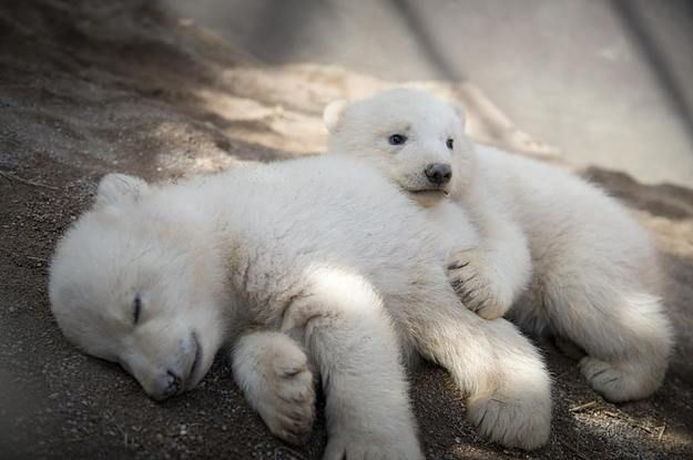 Get ready for some bear-y cute content. The Columbus Zoo in Ohio shared the first photos of its ridiculously fluffy polar bear twins. | Stop What You're Doing And Look At These Baby Polar Bear Twins