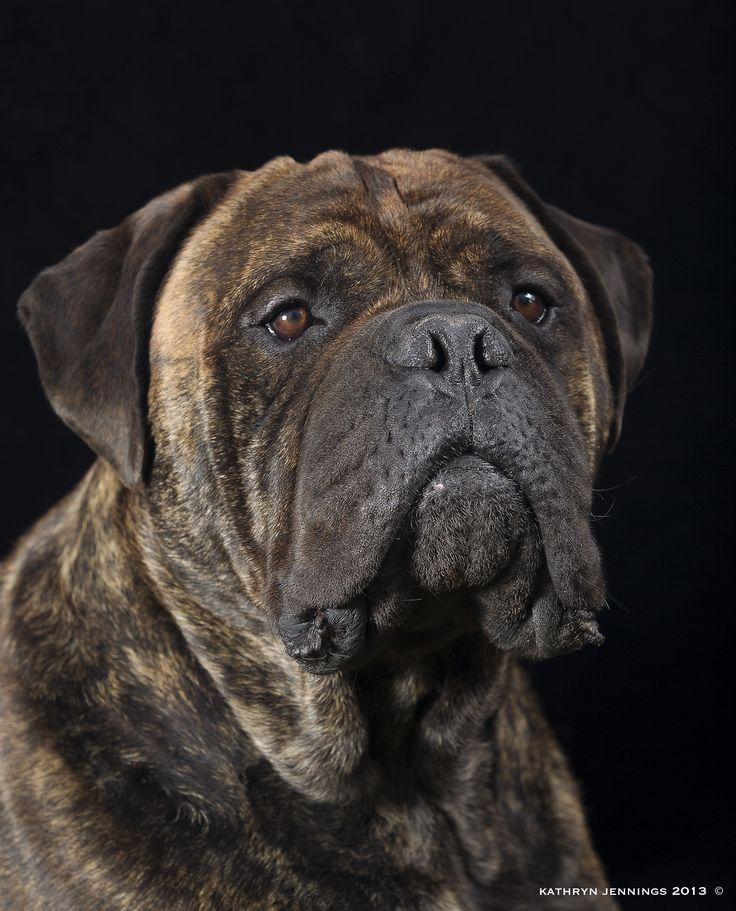 Bull Mastiff Dog www.signaturepawspetportraiture.com