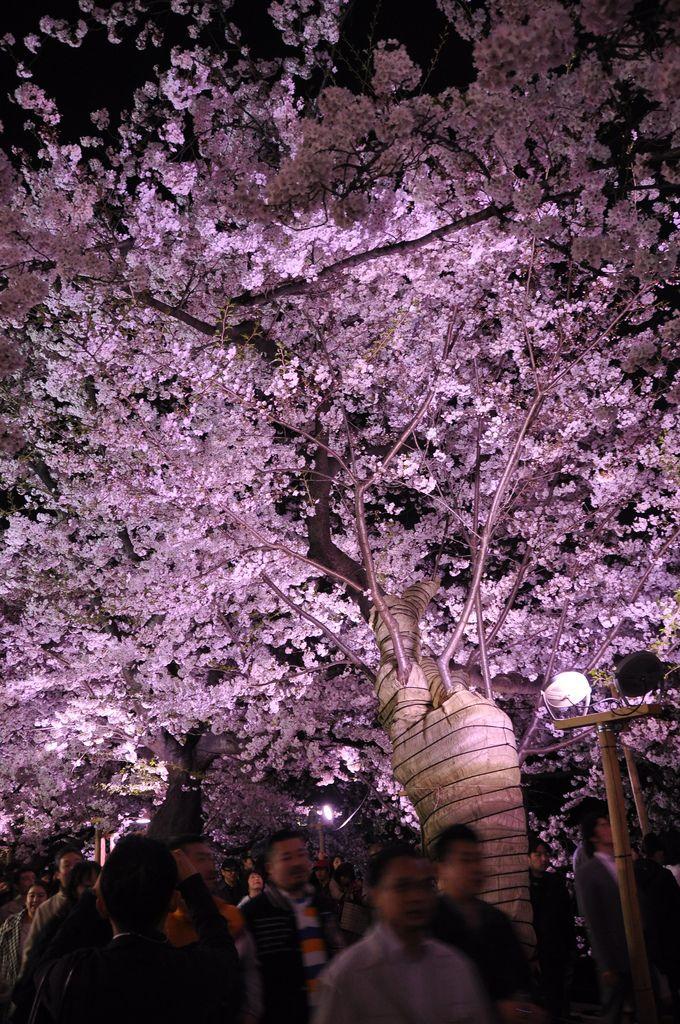 Festival della primavera in Giappone!