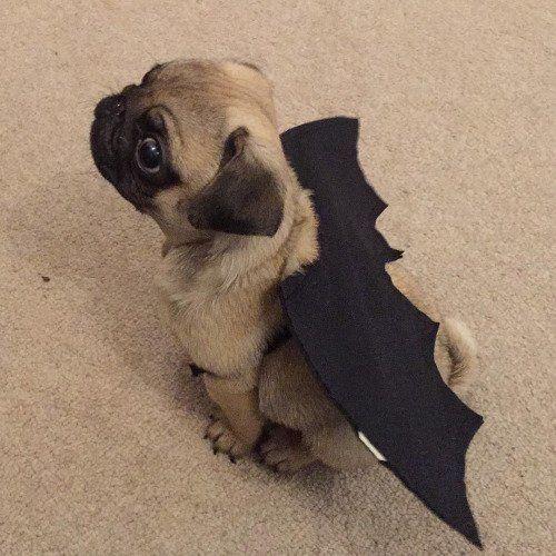 Bat pug.                                                                                                                                                                                 More