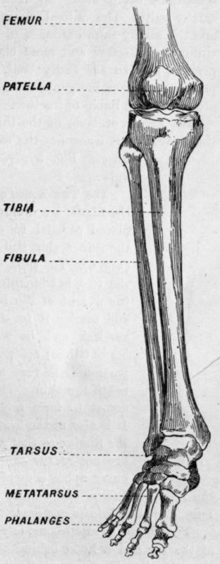 The femur, tibia and the fibia are all long bones, and are one of the 5 different types of bones found in the body