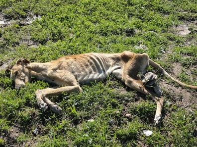 Evitar que los Perros brutales de entrenamiento para la caza en Andalucía (España).
